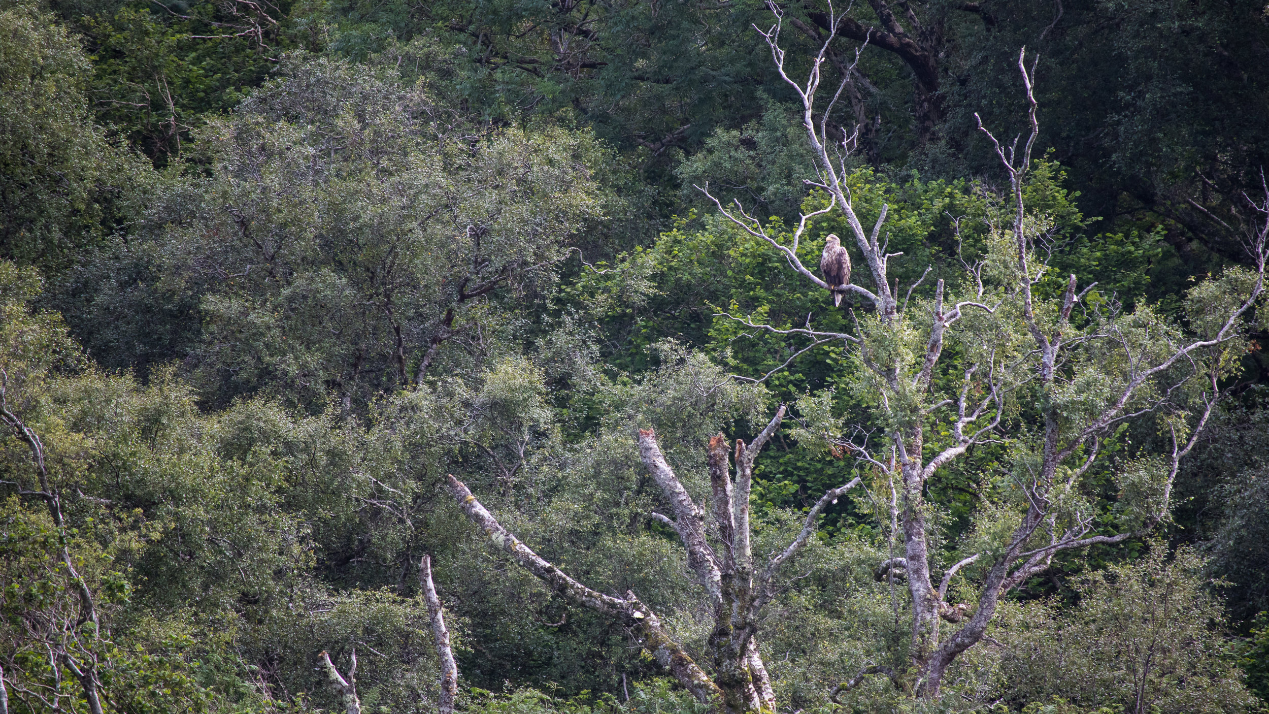 White-tailed Sea-eagle (Haliaeetus albicilla) on Isle of Mull, Scotland. August 2015. Not baited. Not called in.