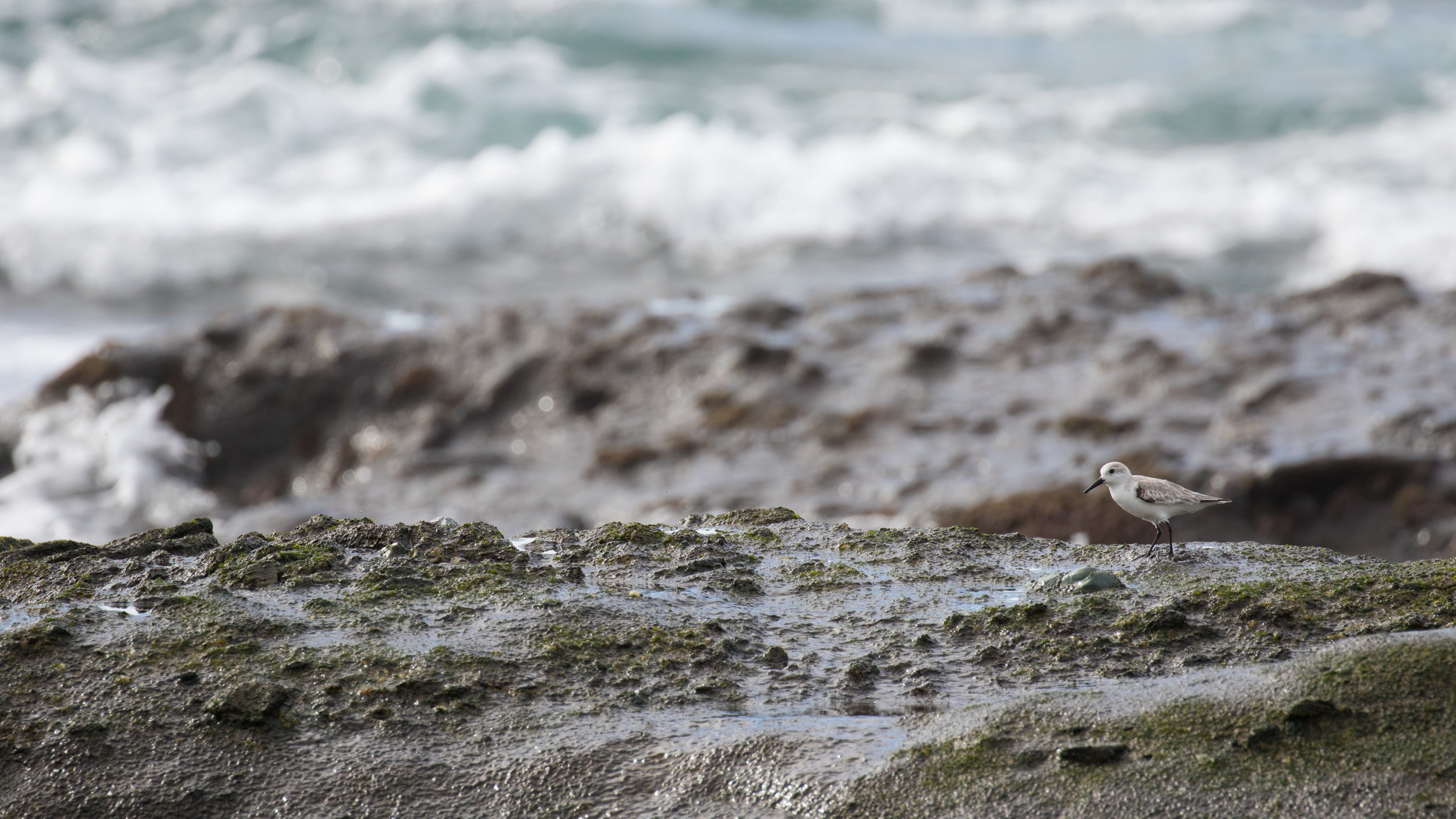 Sanderling (Calidris alba) in Laguna Beach, California, United States. December 2015. Not baited. Not called in.