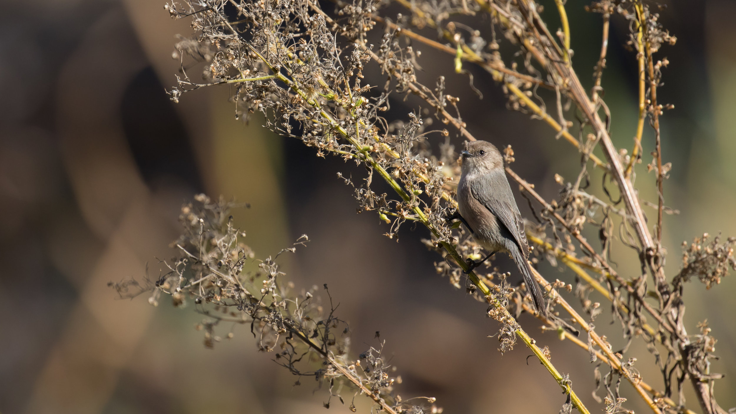American Bushtit (Psaltriparus minimus) at Laguna Niguel Regional Park, United States. December 2015. Not baited. Not called in.