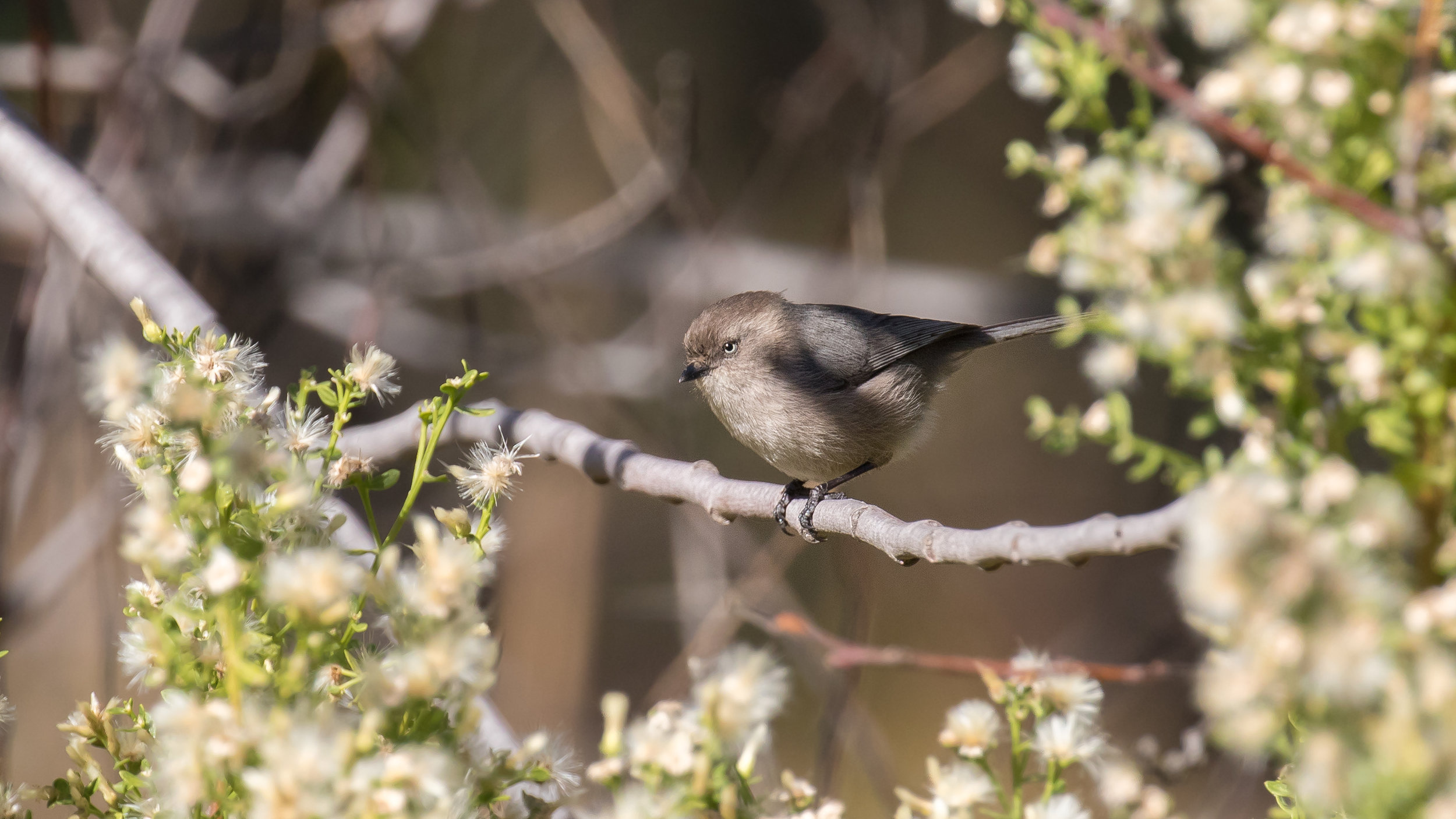 American Bushtit(Psaltriparus minimus) at Laguna Niguel Regional Park, United States. December 2015. Not baited. Not called in.