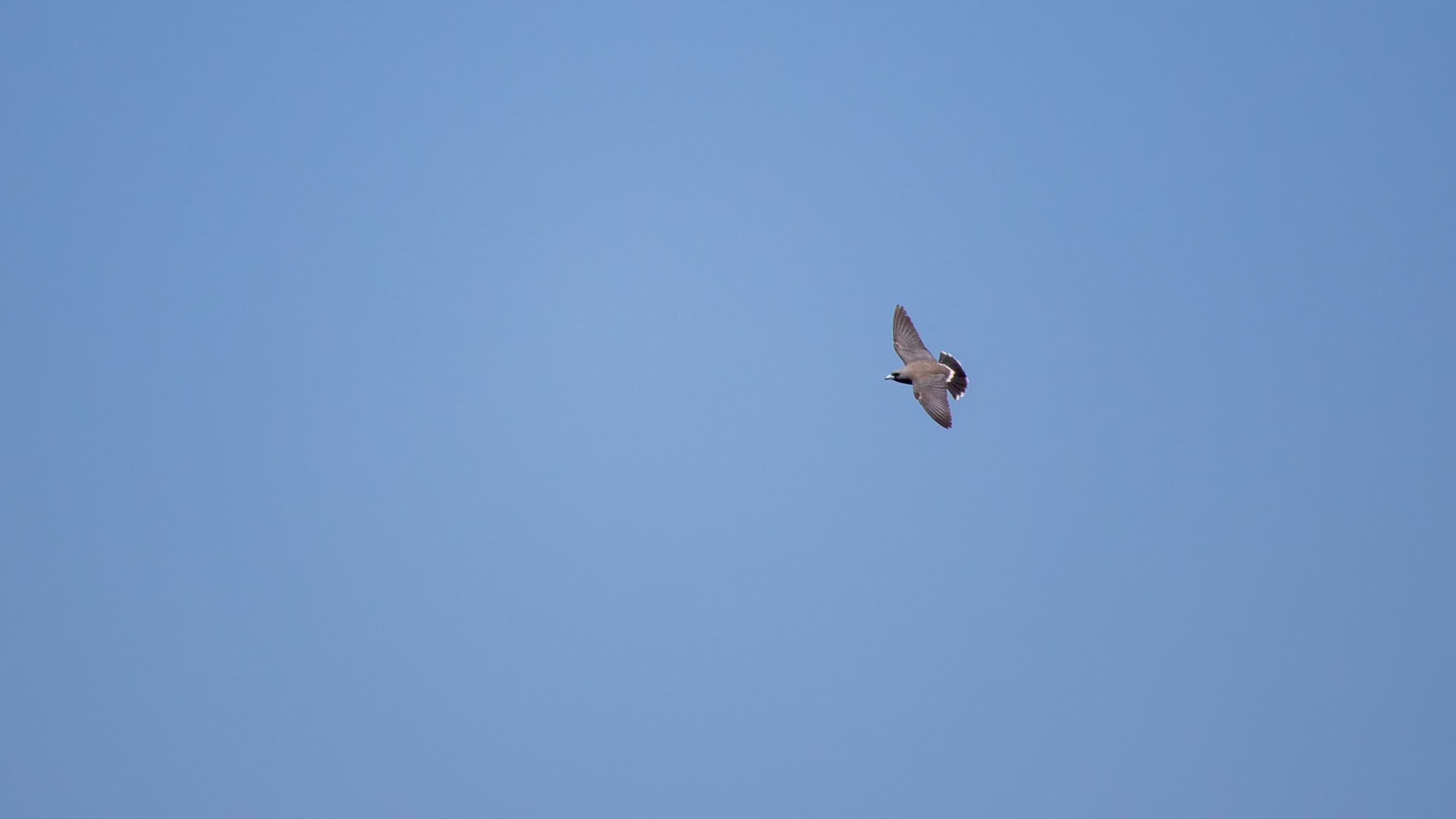 Ashy Woodswallow (Artamus fuscus) in flight above Periyar Lake, Kerala, India. February 2015. Not baited. Not called in.