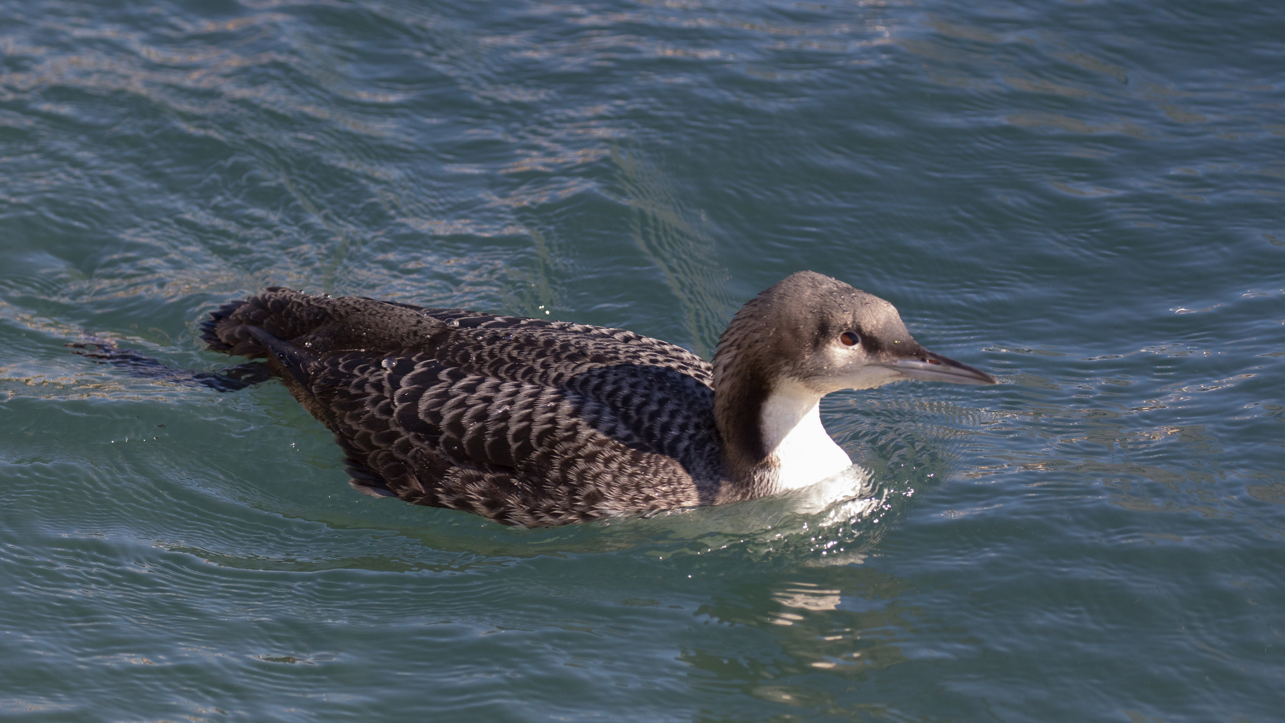 Pacific Loon (Gavia pacifica) in Dana Point, United States. December 2015. Not baited. Not called in.