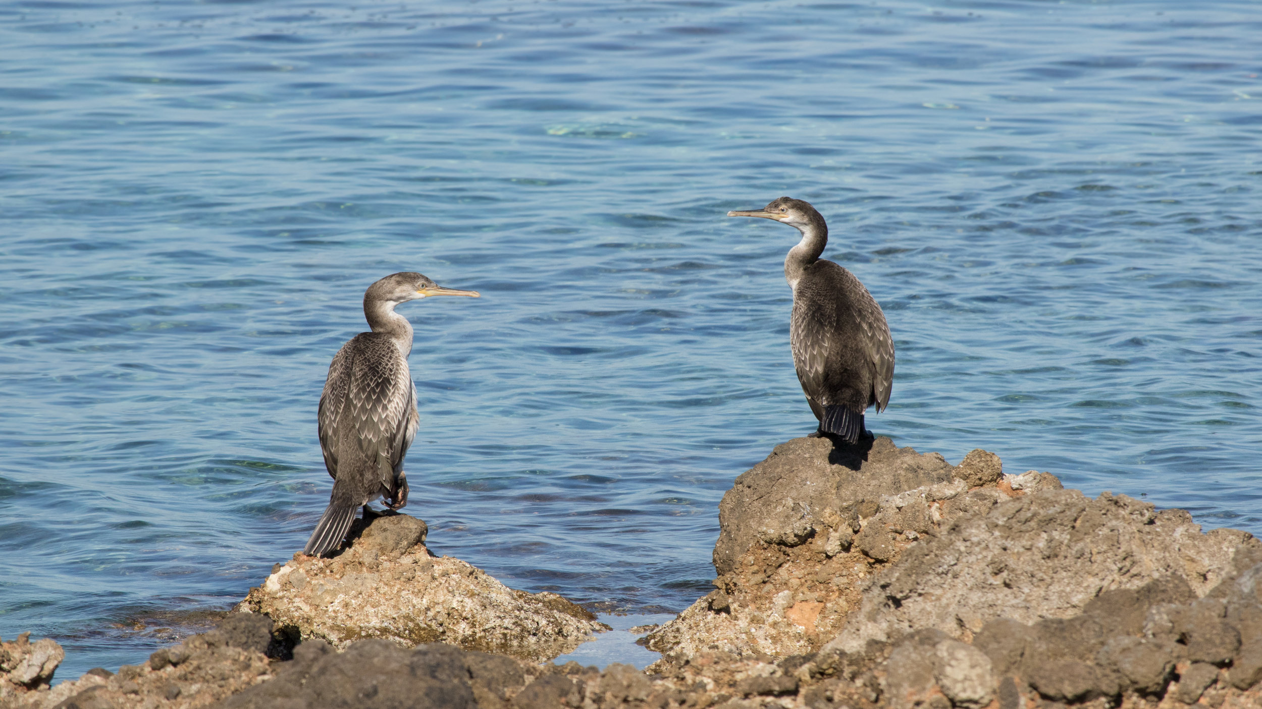 European Shags (Phalacrocorax aristotelis) in Colonia de Sant Pere, Spain. May 2015. Not baited. Not called in.