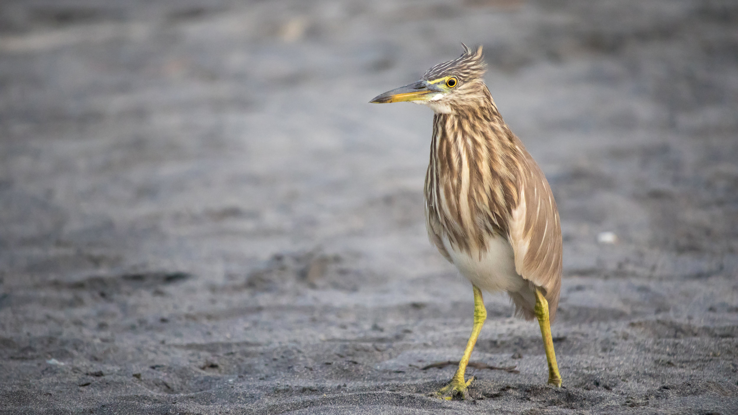 Indian Pond-heron (Ardeola grayii) in Varkala, Kerala, India. February 2015. Not baited. Not called in.