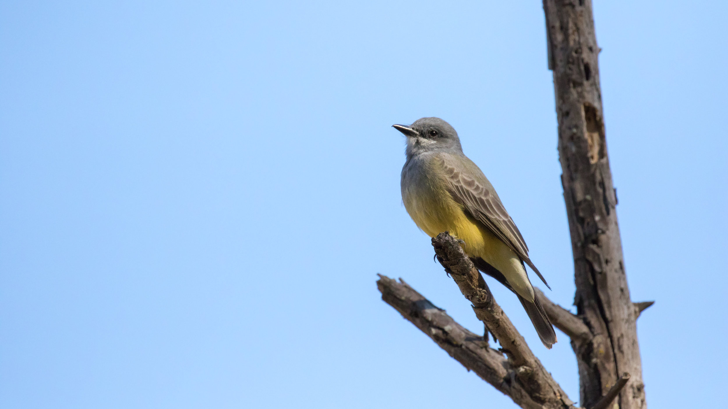 Cassin's Kingbird (Tyrannus vociferans) in Laguna Niguel, Orange County, California. December 2015. Not baited. Not called in.