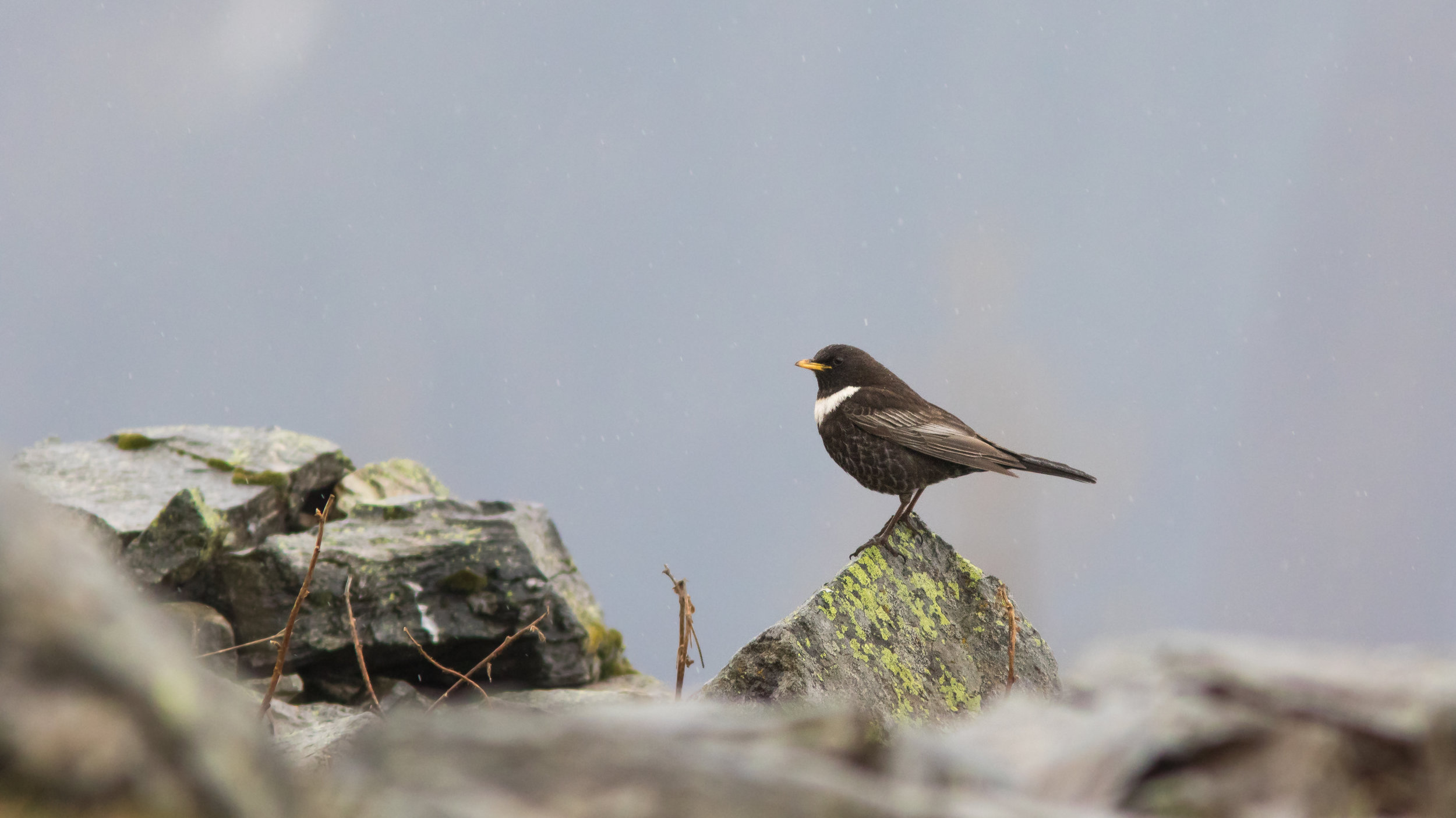 Ring Ouzel (Turdus torquatus) in Chamonix area, France. April 2015. Not baited. Not called in.