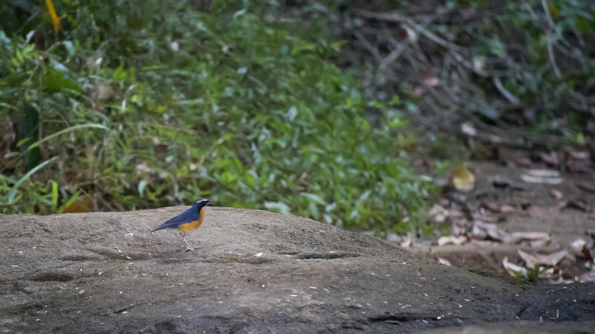Indian Blue Robin (Larvivora brunnea) near Thattekad Bird Sanctuary, Kerala, India. February 2015. Not baited. Not called in.