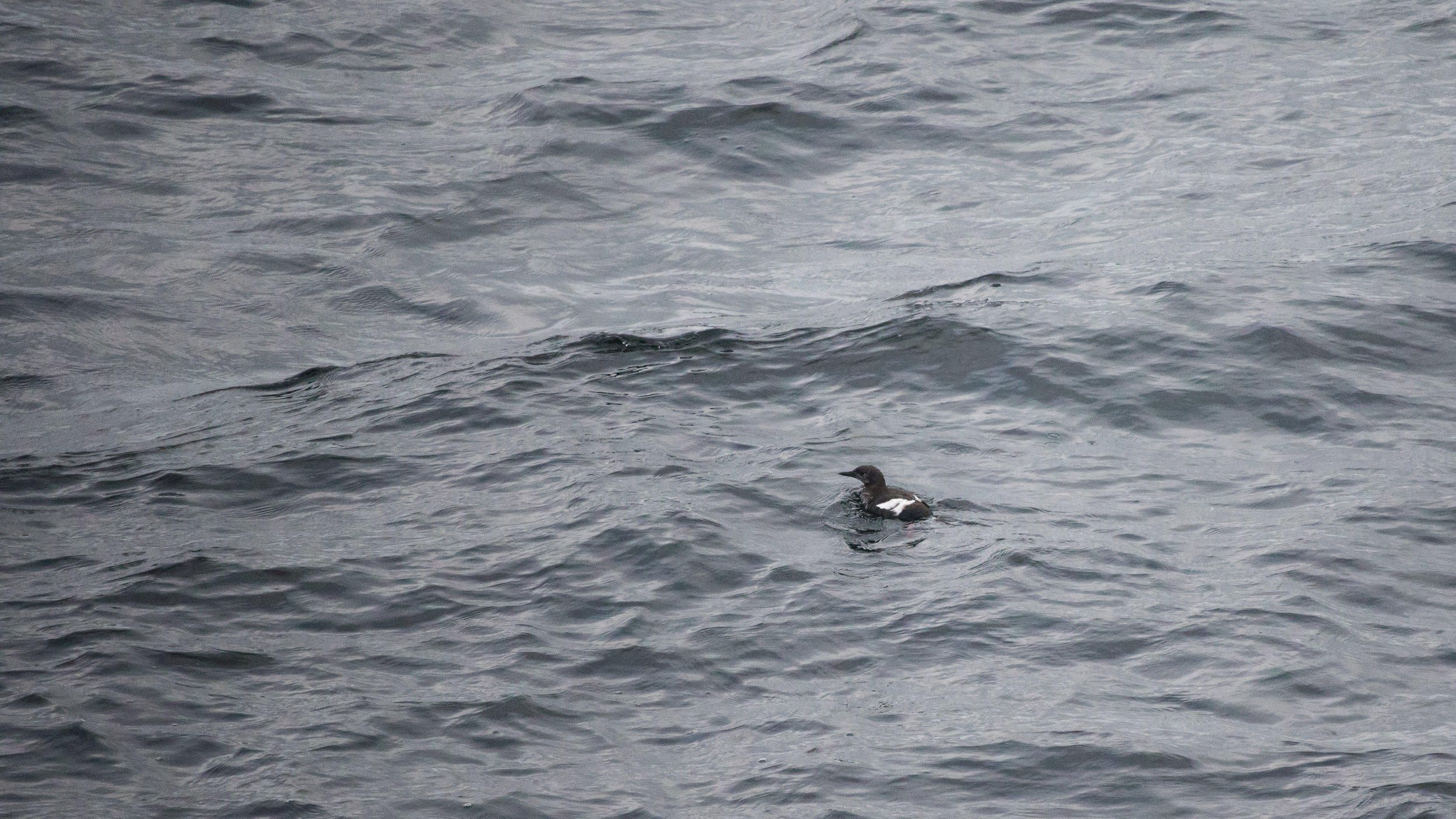 Black Guillemot (Cepphus grylle) from the ferry between Islay and Kennacraig, Scotland. August 2015. Not baited. Not called in.