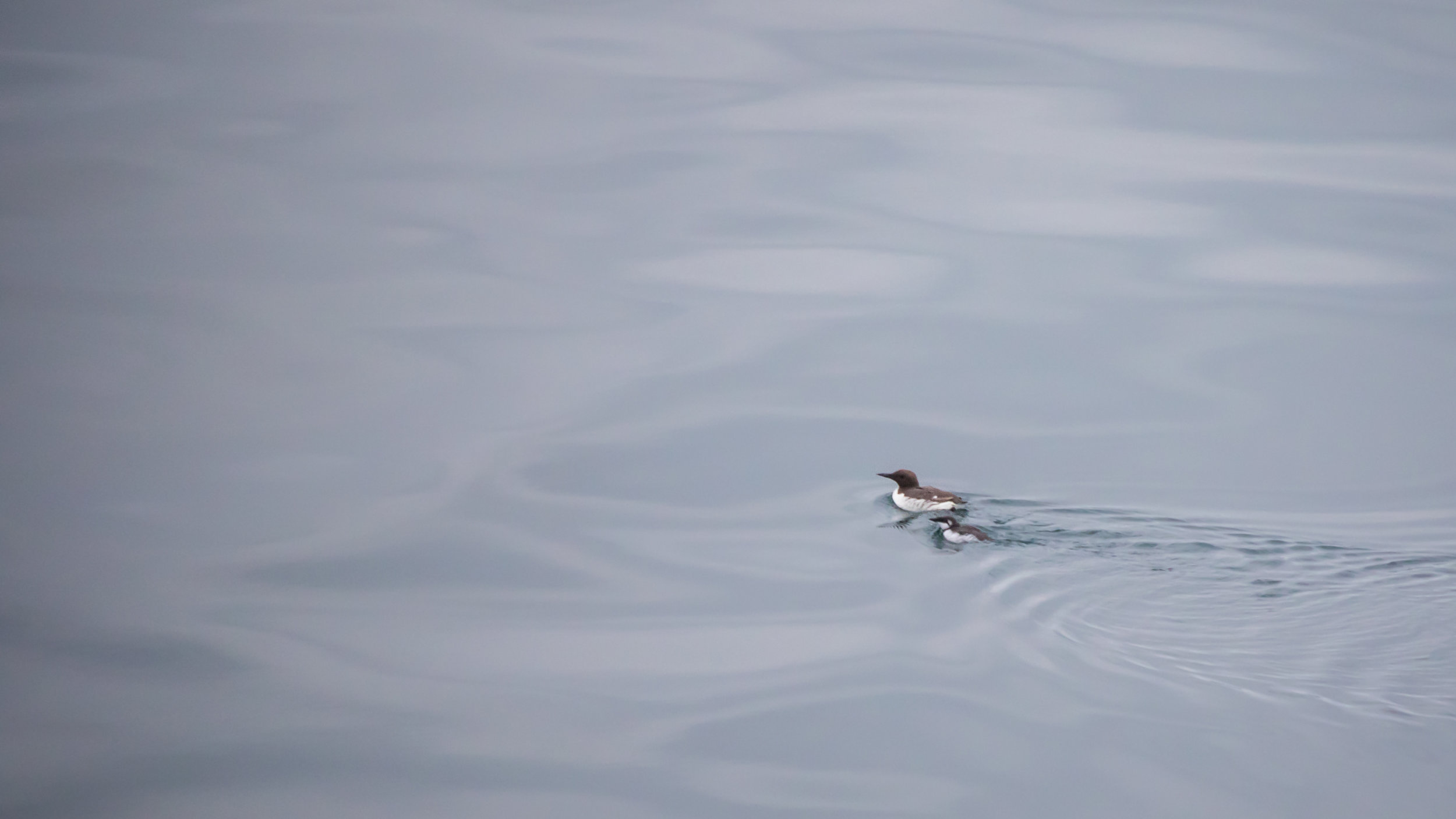 Common Murre (Uria aalge) between Kennacraig and Islay, Scotland. August 2015.Not baited. Not called in.
