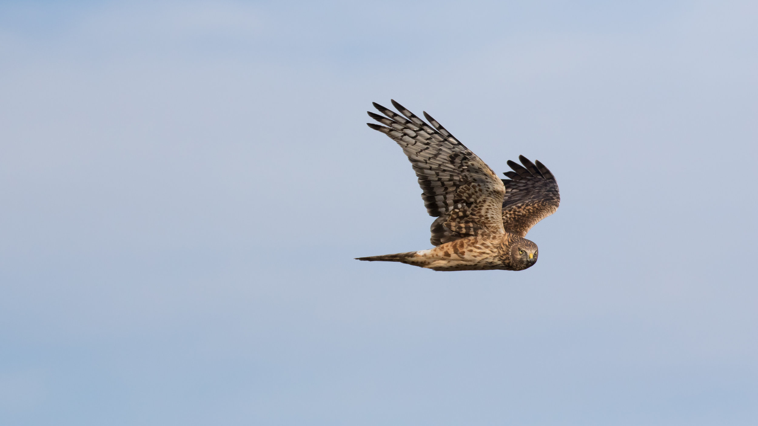 Northern Harrier (Circus hudsonius) at Bolsa Chica Ecological Reserve, Orange County, California. December 2015. Not baited. Not called in.