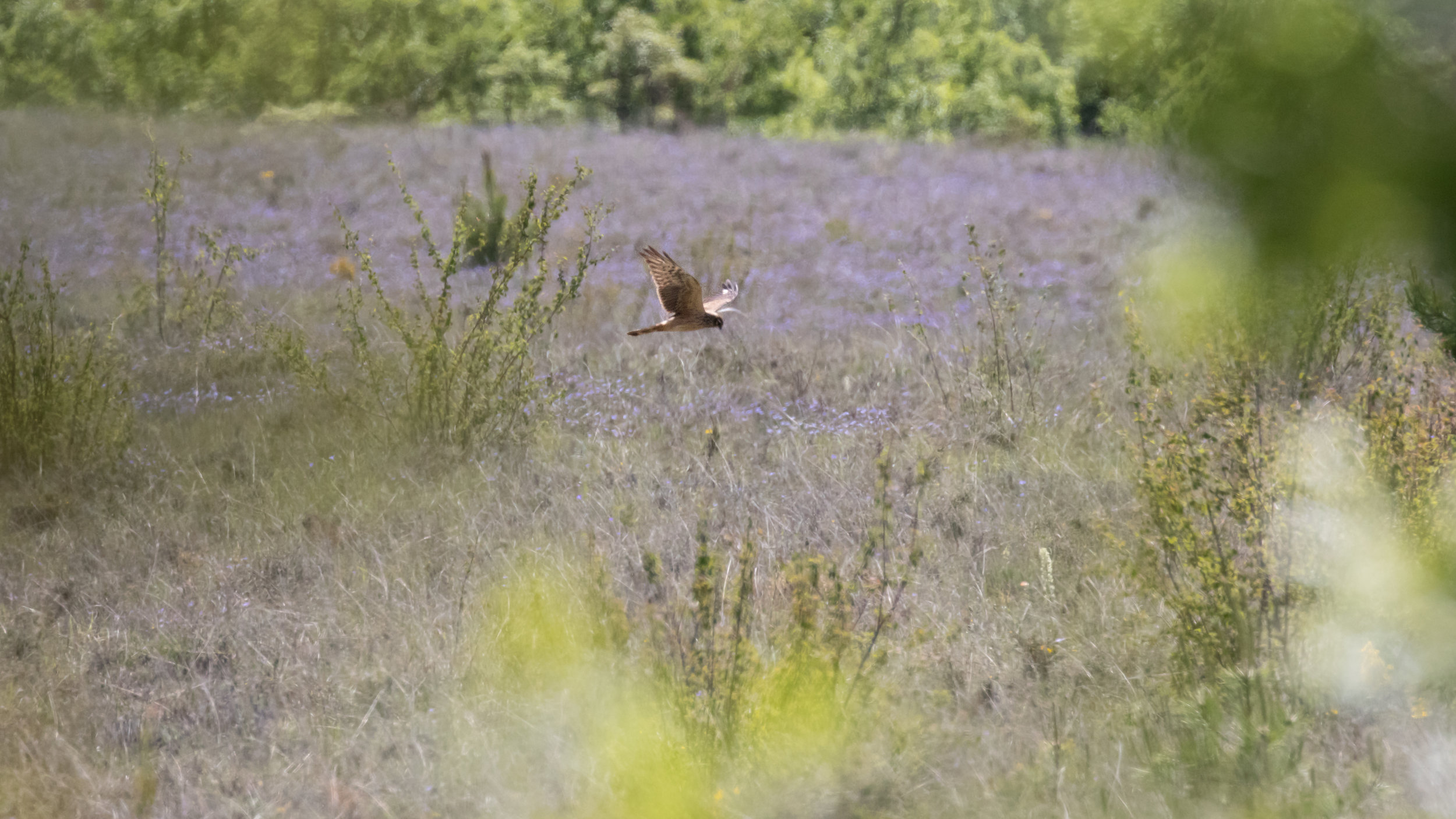 Montagu's Harrier (Circus pygargus) in France. May 2015. Not baited. Not called in.