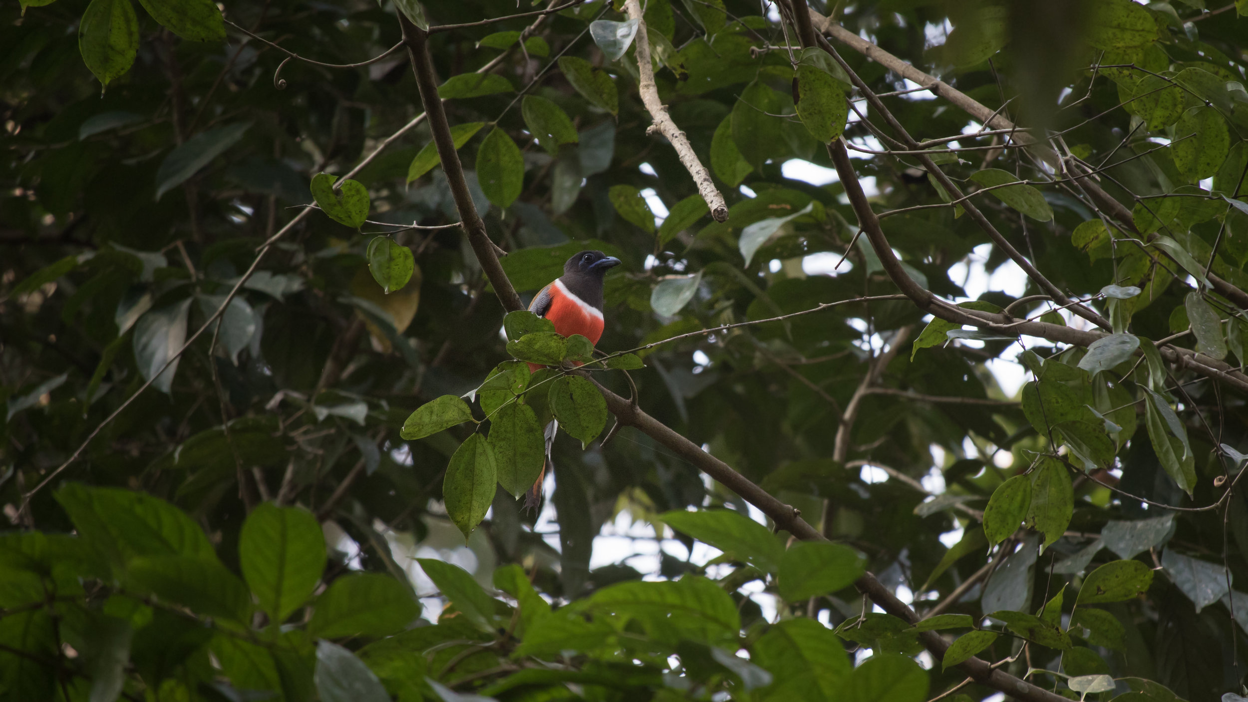 Malabar Trogon (Harpactes fasciatus) in the Thattekad Bird Sanctuary, Kerala, India. February 2015. Not baited. Called once by our guide.