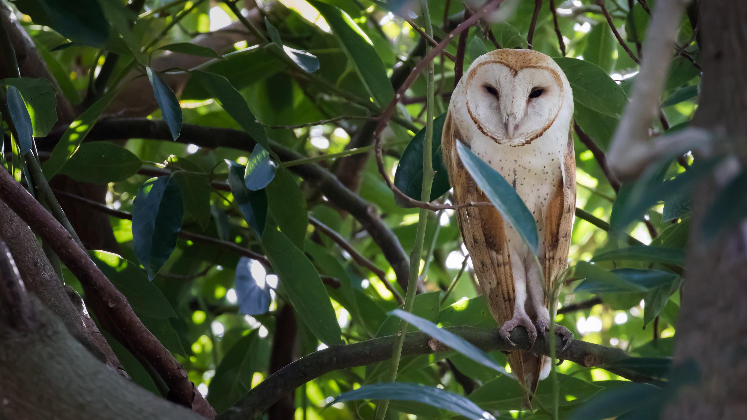 Barn Owl (Tyto alba) in Oceanside, California, United States. December 2015. Not baited. Not called in.