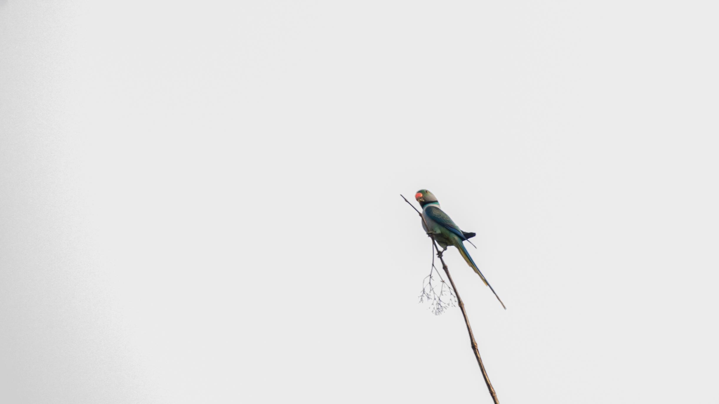 Malabar Parakeet (Psittacula columboides) in Thattekad Bird Sanctuary, Kerala, India. February 2015.Not baited. Not called in.