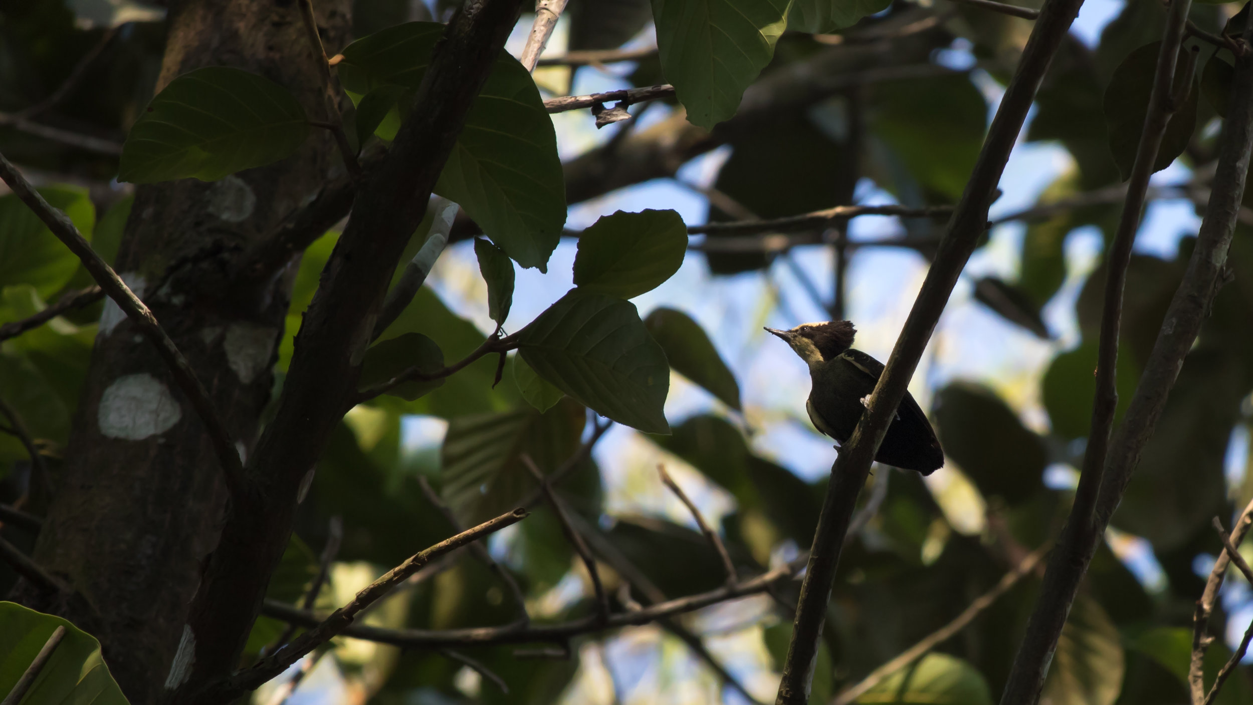 Heart-spotted Woodpecker (Hemicircus canente)at the Thattekad Bird Sanctuary, Kerala, India. February 2015. Not baited. Not called in.