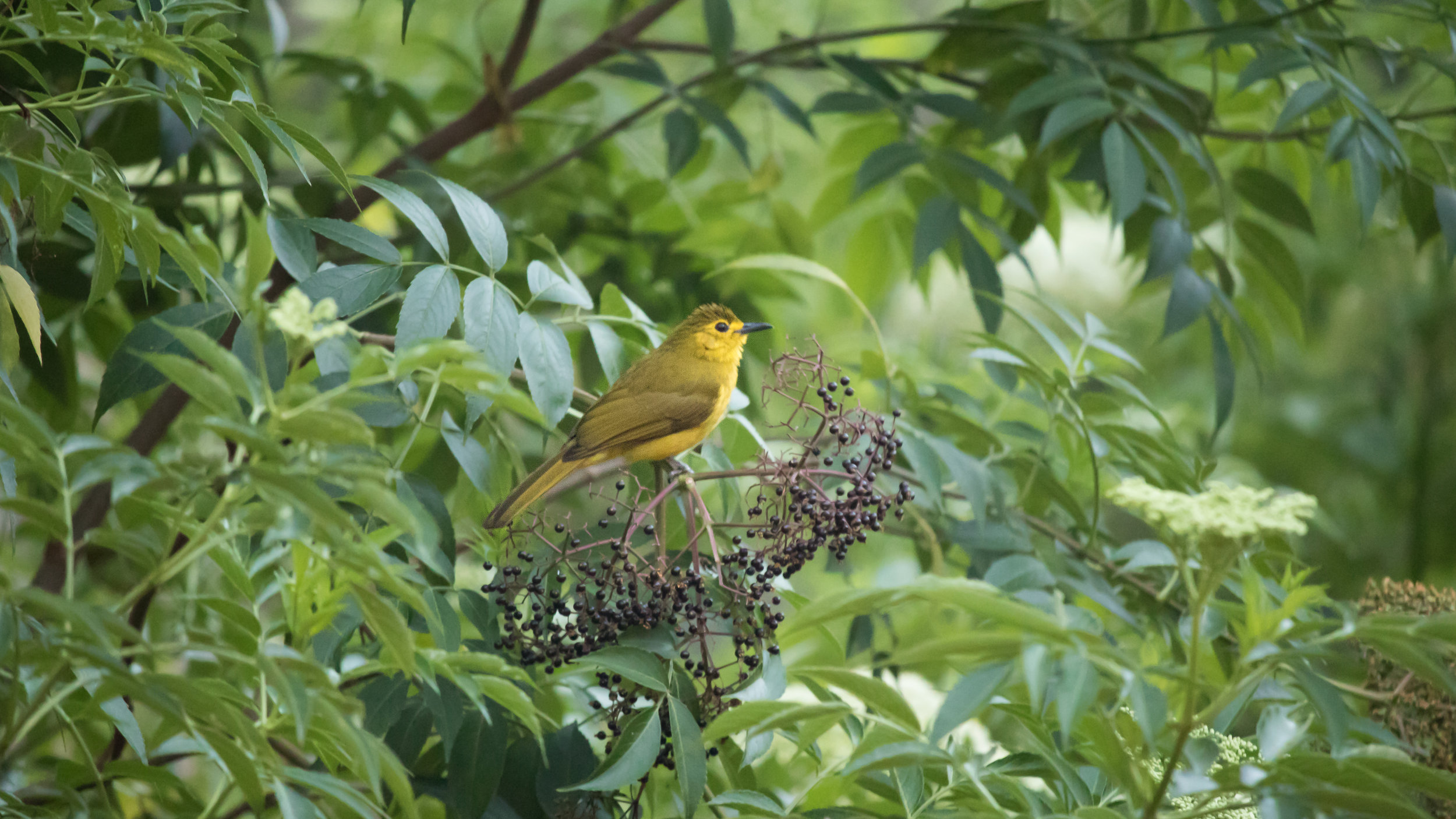 Yellow-browed Bulbul (Acritillas indica) in Munnar region, Kerala, India. February 2015. Not baited. Not called in.
