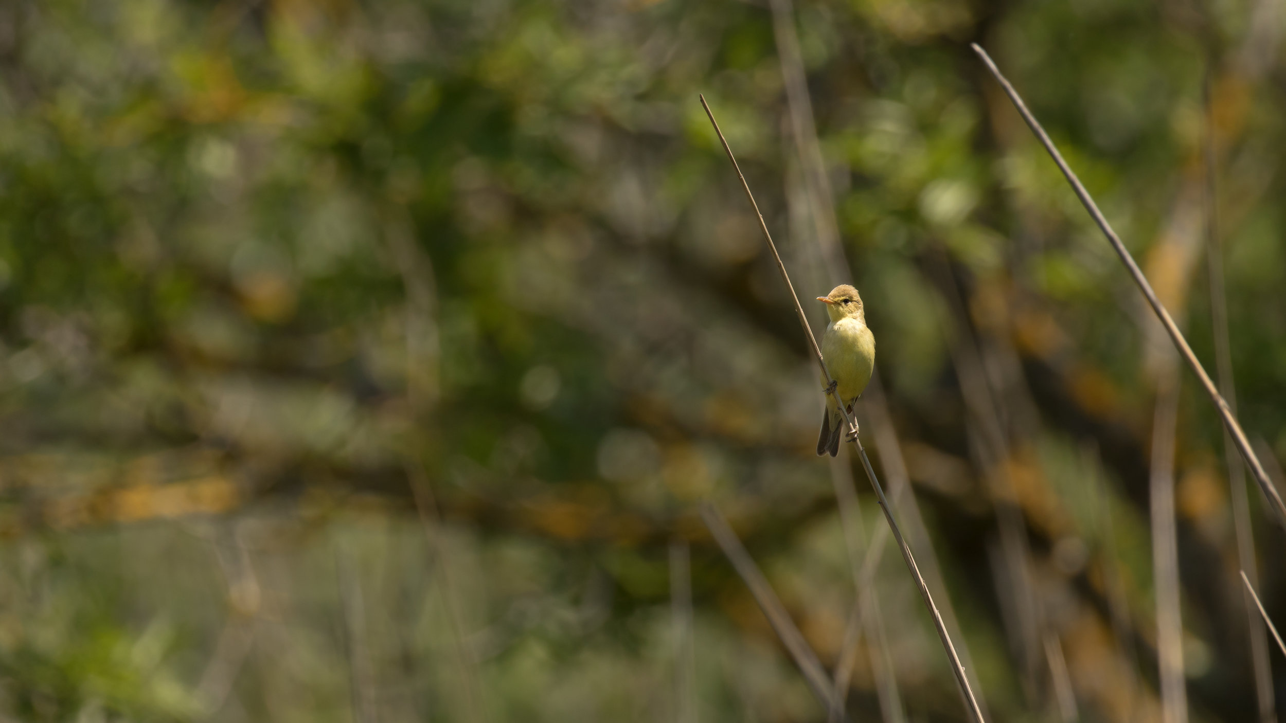 Melodious Warbler (Hippolais polyglotta) in Camargue, France. May 2018. Not baited. Not called in.