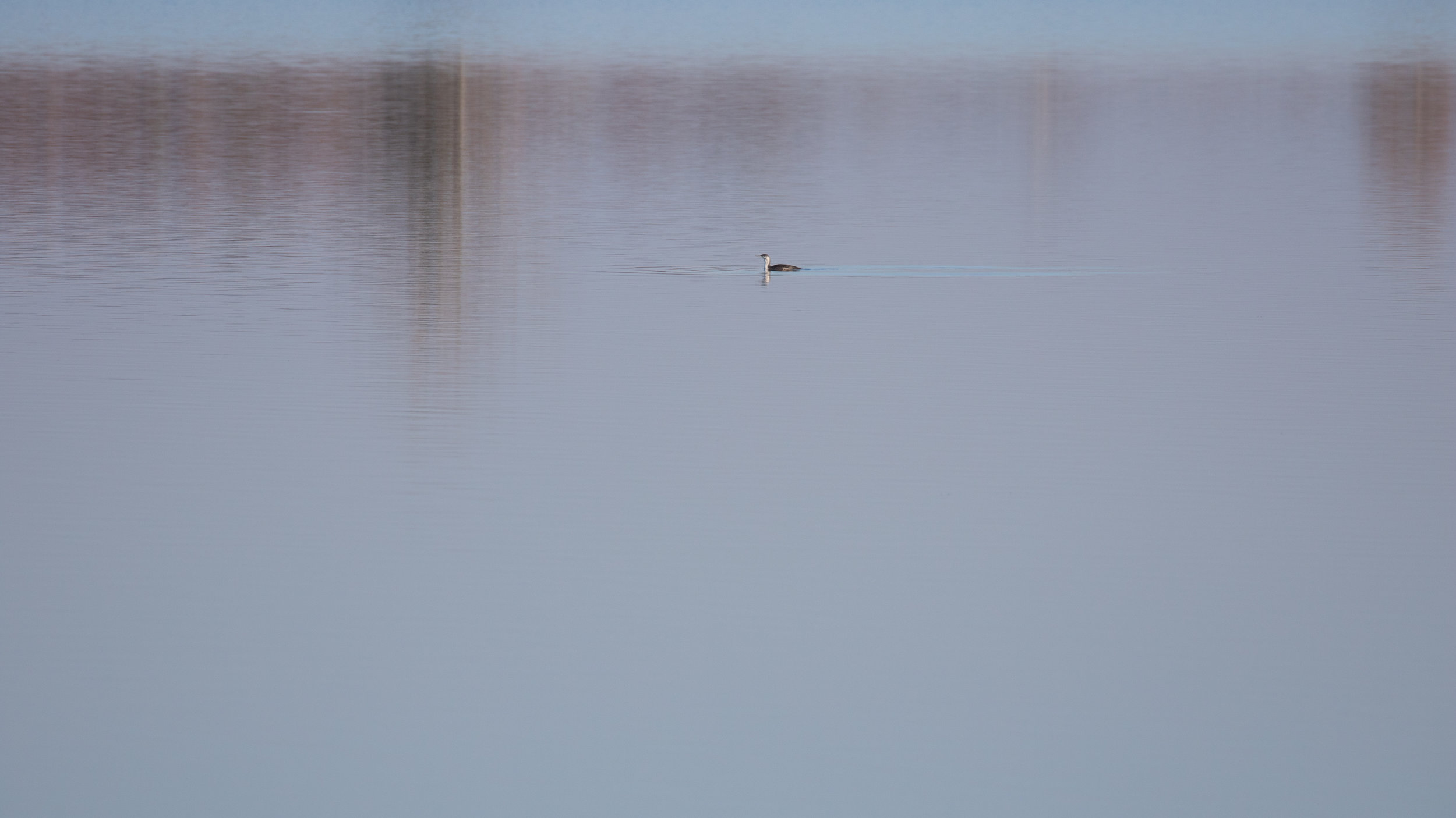 Red-throated Loon (Gavia stellata) in Lake Der-Chantecoq, France. Not baited. Not called in. November 2018.