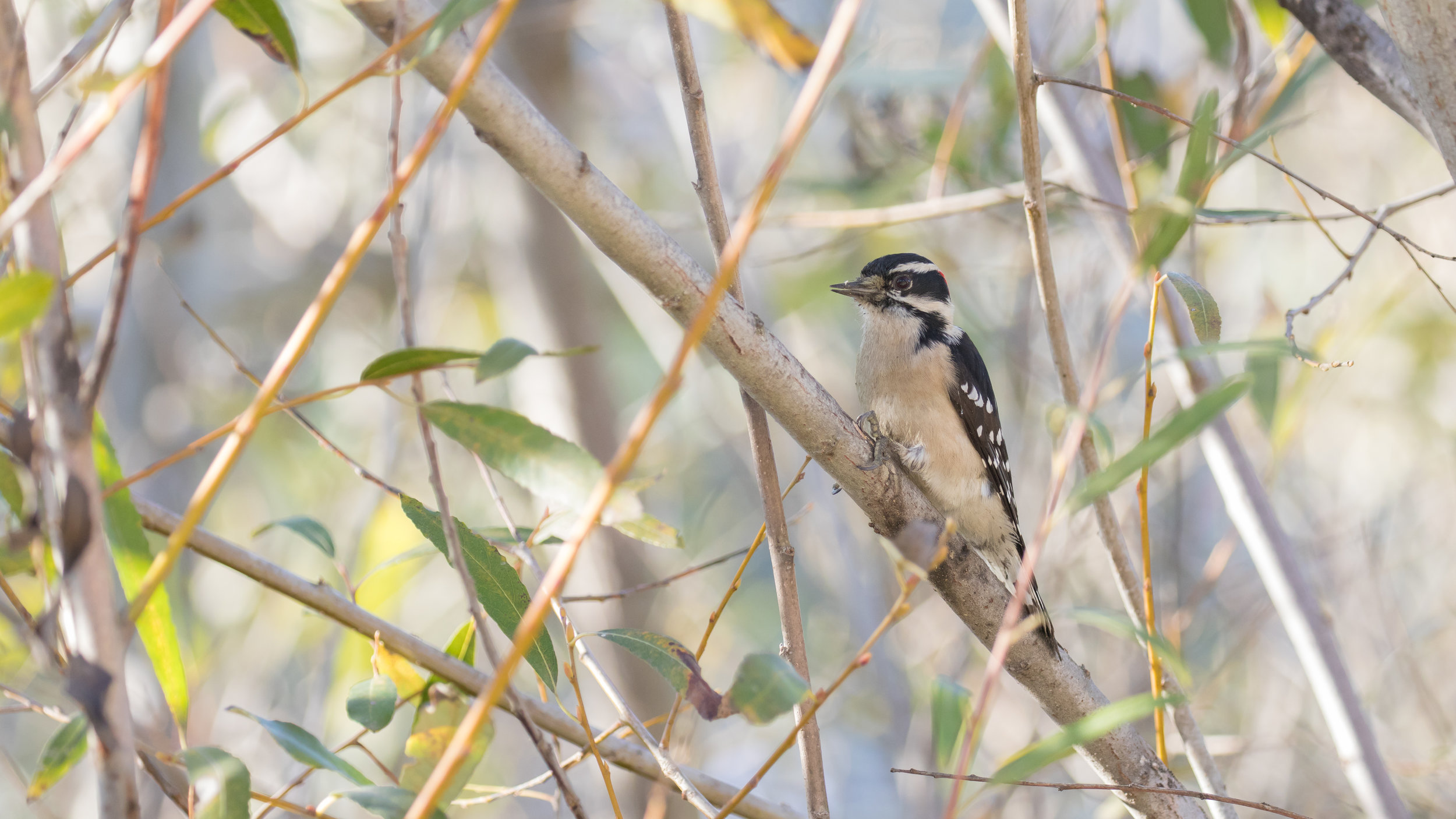 Downy Woodpecker (Picoides pubescens) at the Laguna Niguel Regional Park, Orange County, California. December 2018. Not baited. Not called in.