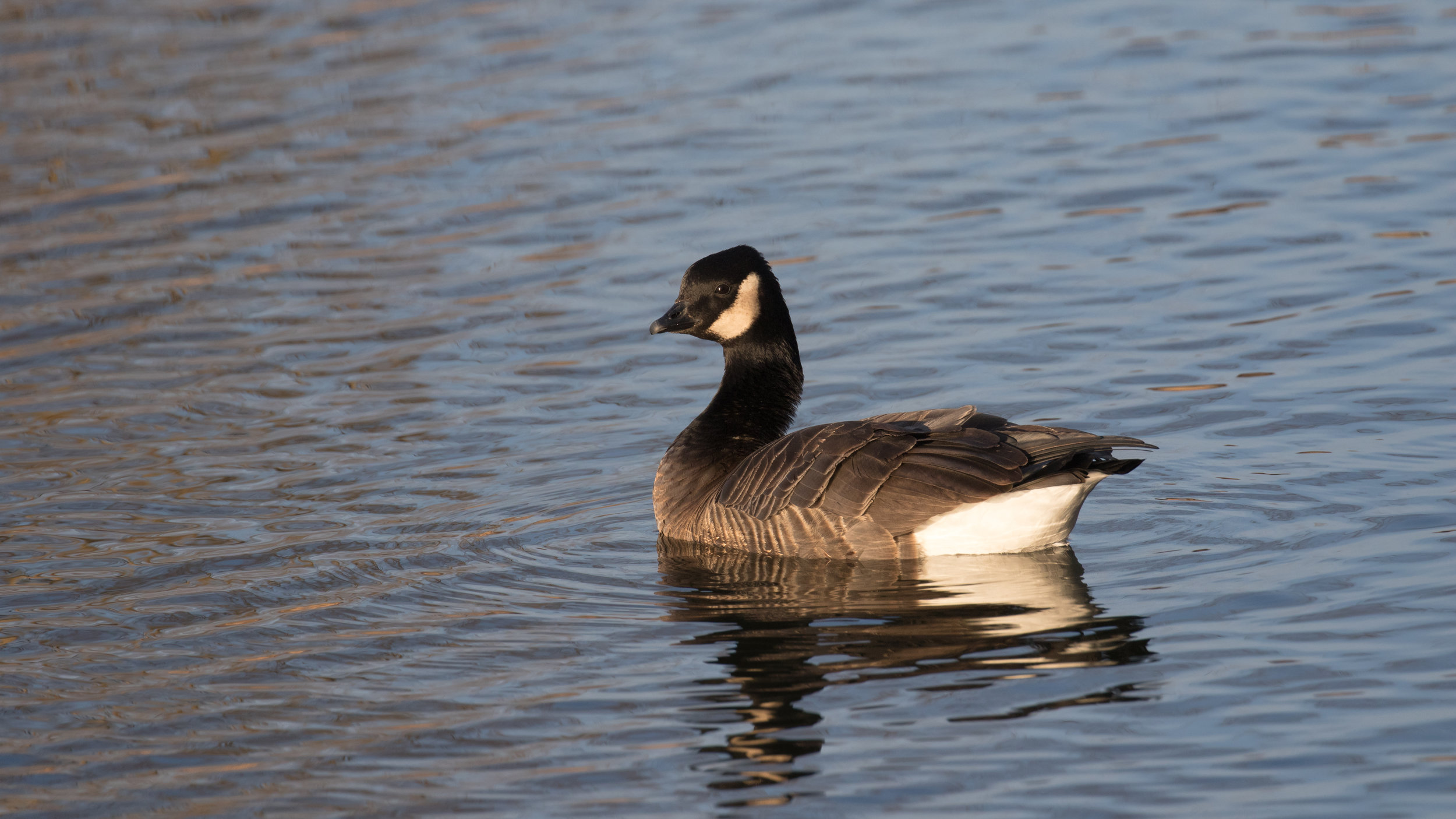 Cackling Goose (Branta hutchinsii) in France. January 2019. Not baited. Not called in.