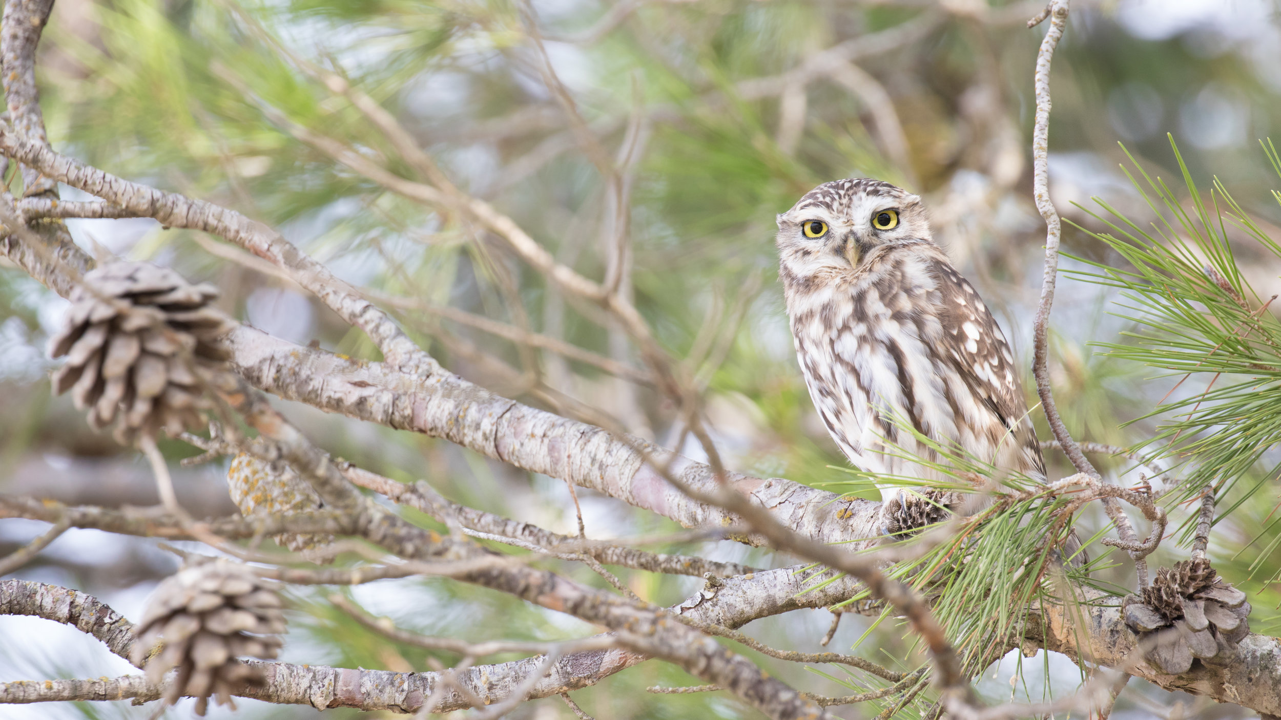 Little Owl (Athene noctua) in Spain. October 2018. Not baited. Not called in.