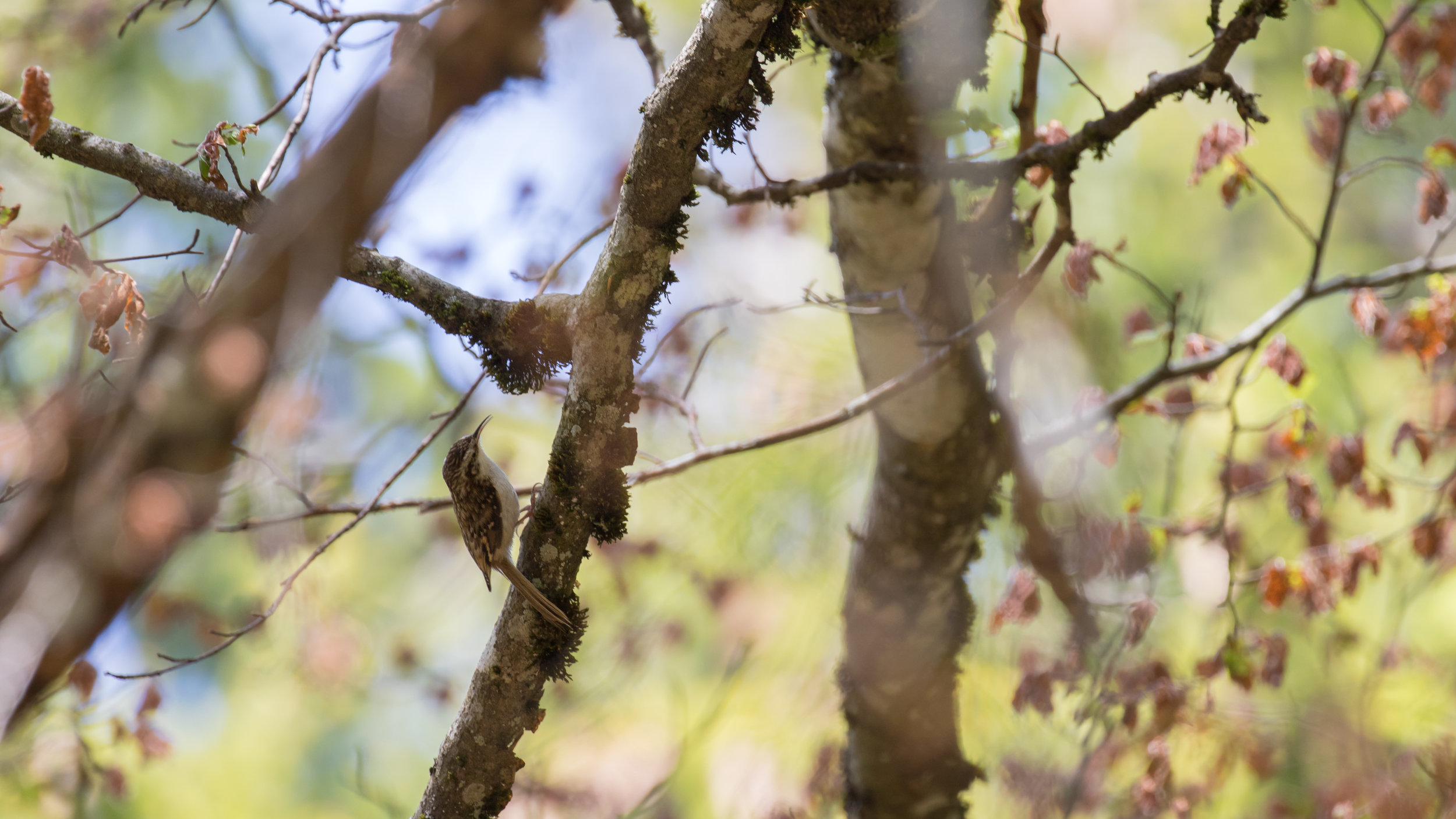Eurasian Treecreeper (Certhia familiaris) in France. May 2019. Not baited. Not called in.