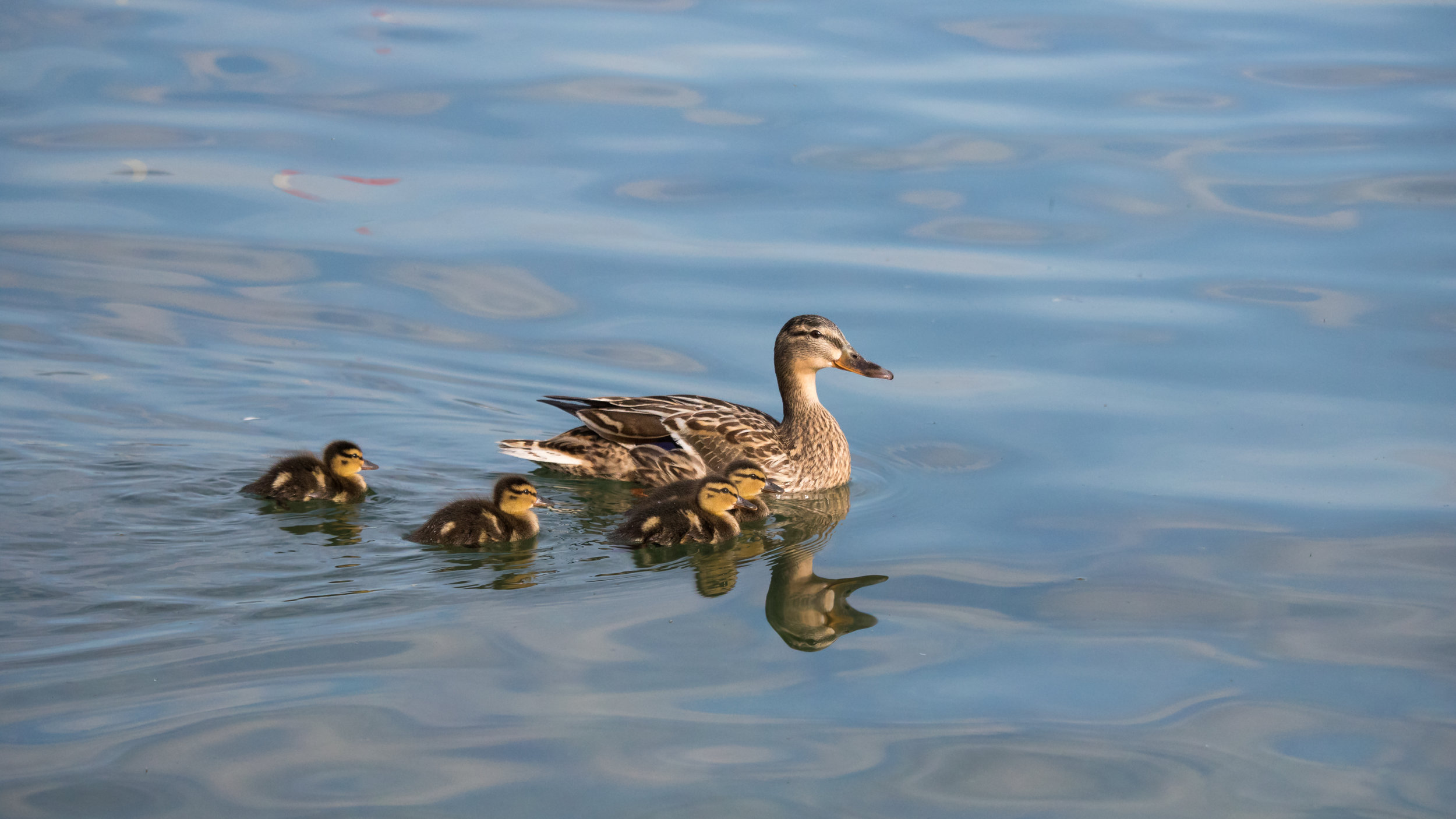 Female Mallard (Anas platyrhynchos) with chicks in Canton of Geneva, Switzerland. May 2015. Not baited. Not called in.