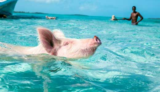 The Swimming Pigs