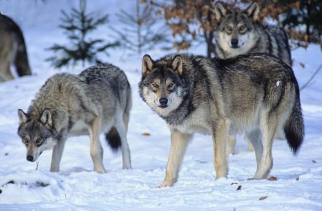 European-Wildlife-Wolf-pack-in-winter.jpg