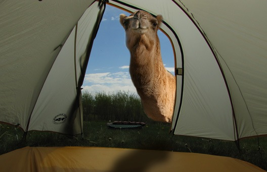 """Middle Eastern Proverb:  """"If the camel once gets his nose into the tent his whole body will soon enter."""""""