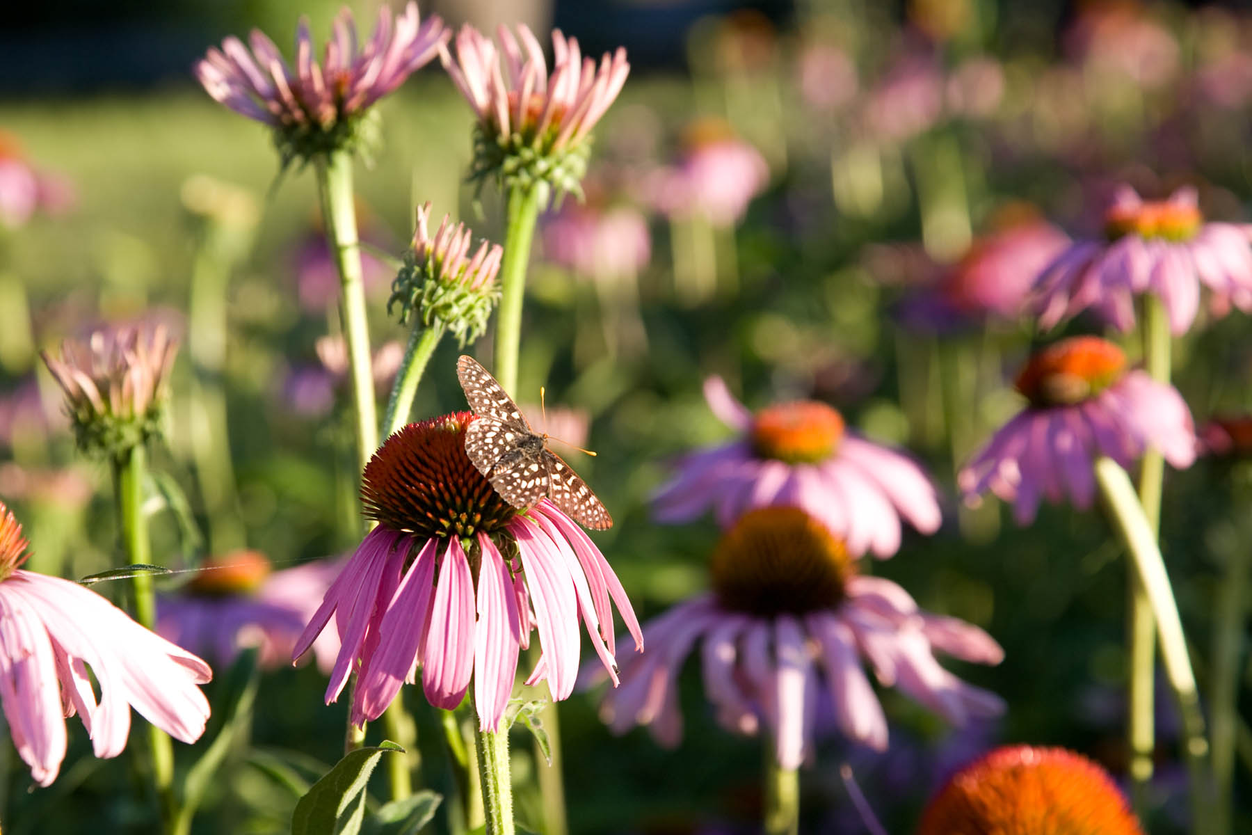 0 9 Herb Pharm Purple Cone Flower_web.jpg