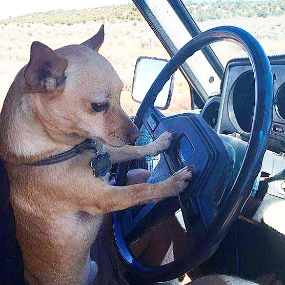 According to Scooby, dirt roads are the best place for driving instruction. #chihuahua #drivingwhiledog