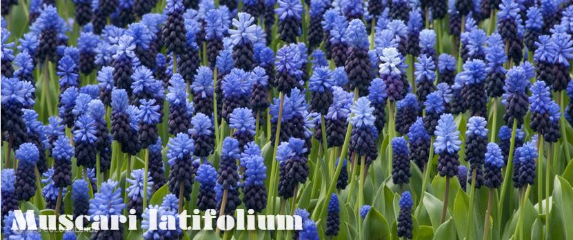 A photo from Colorblends's website of their  Muscari latifolium
