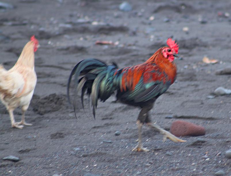 Amed_Chicken.jpg