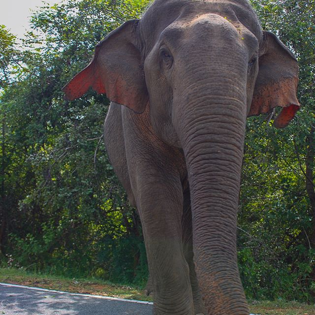 On our way east 🚸🐘driving through Yala. Super excited we got to see this majestic beaut out in the wild 👋🏼