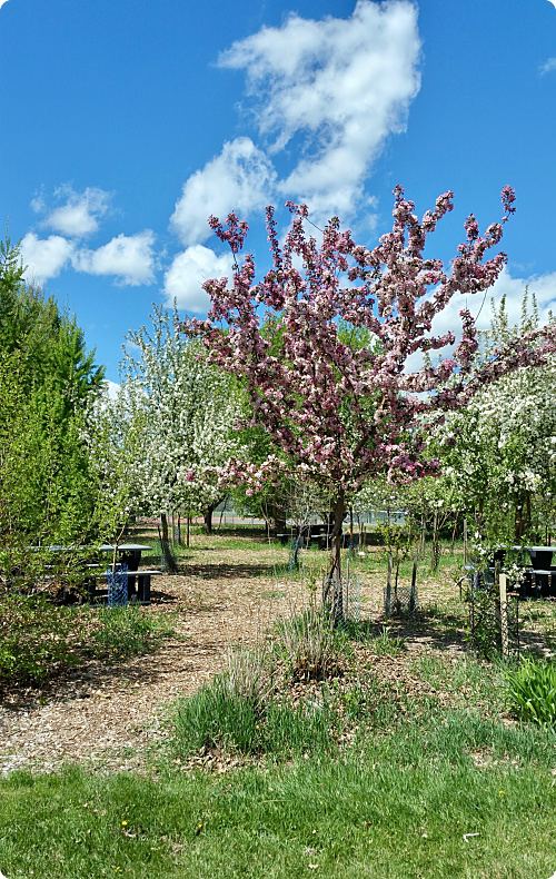 Silver Springs cherry tree_opt.jpg