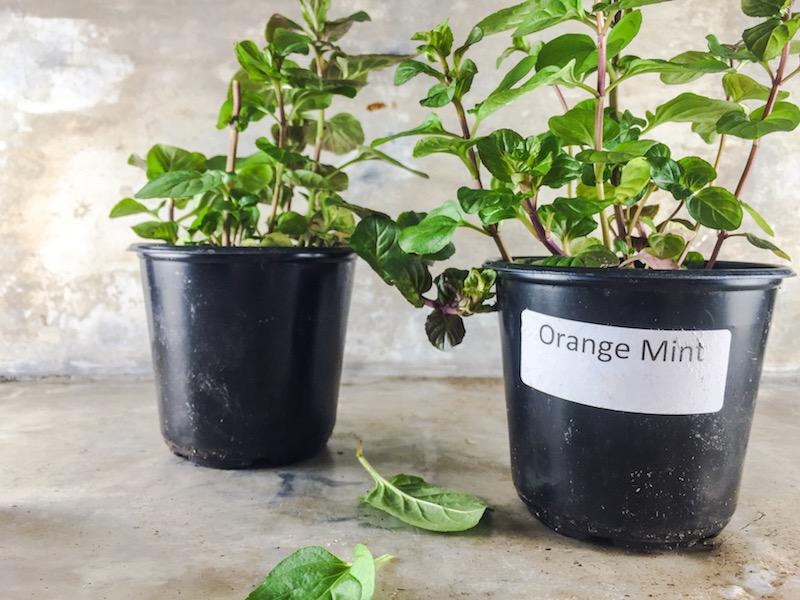 Sid Wainer orange Mint