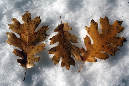Fall Oak Leaves on Snow