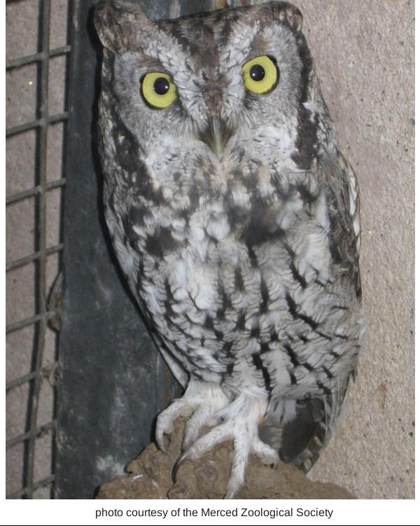 screach owl