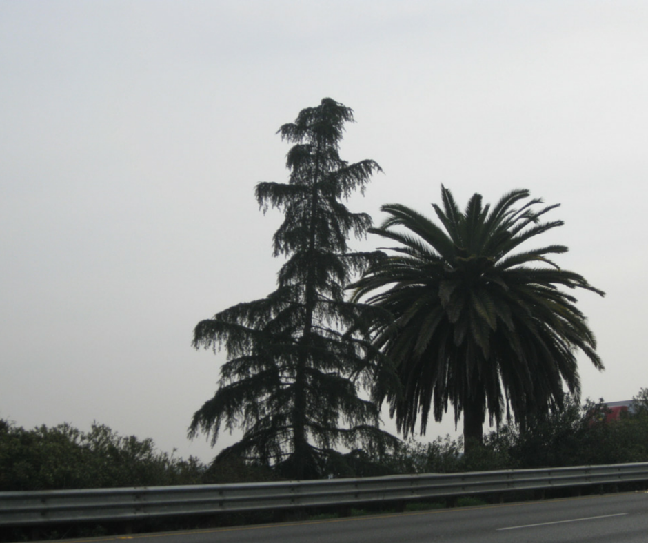 WHERE THE PALM MEETS THE PINE PHOTO BY STEVE NEWVINE