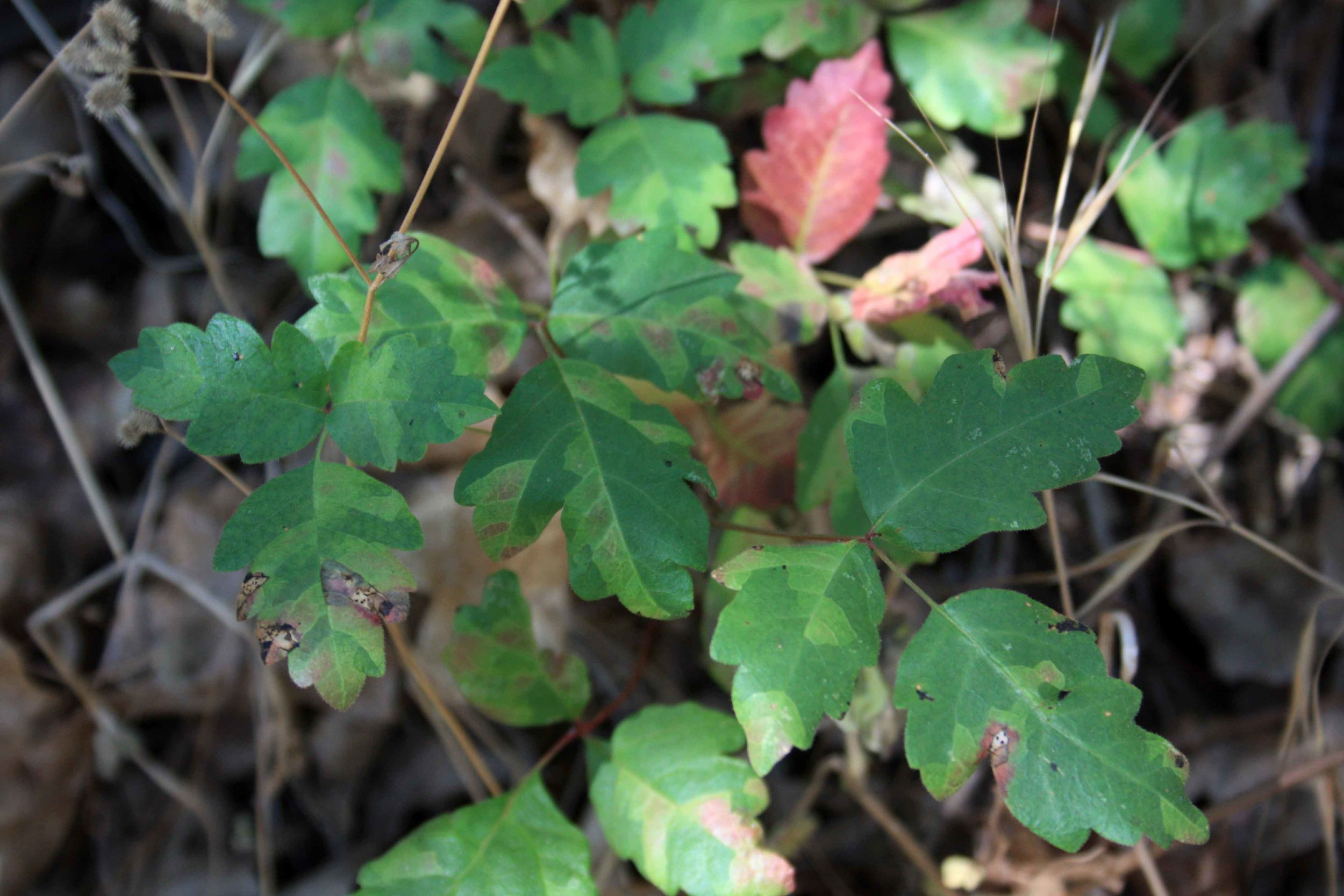 Poison Oak 1.JPG