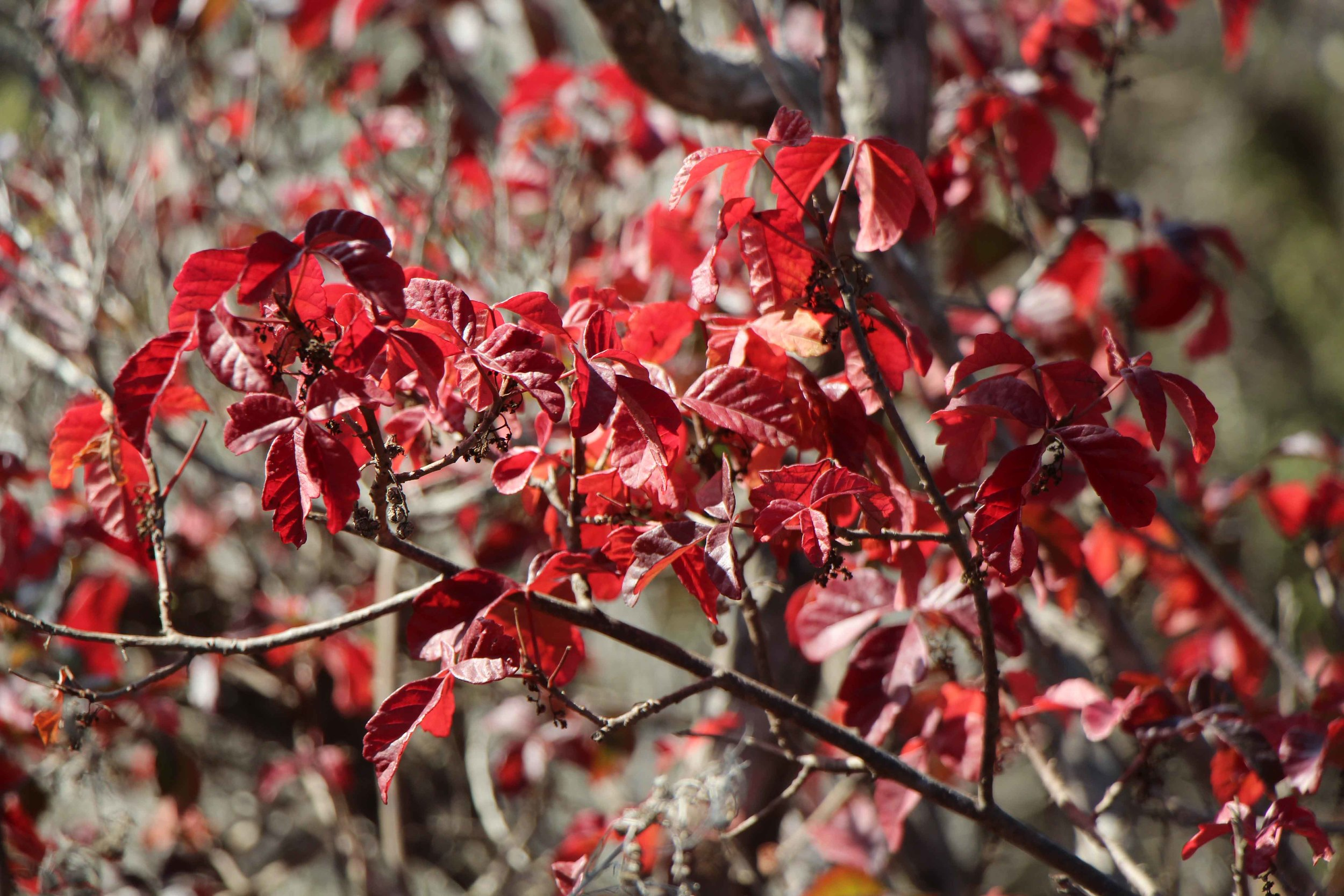 Poison Oak 2.JPG
