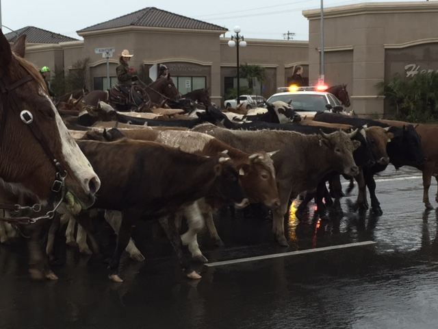 59th Annual Chowchilla Western Stampede cattle drive. Picture by Steve Newvine
