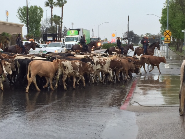 Steer from this year's cattle drive make the turn to head back from where they started at the Chowchilla Fairgrounds. Photo by Steve Newvine
