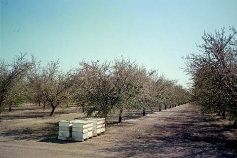 Bee boxes are a common springtime site around Central Valley orchards. Photo by Steve Newvine