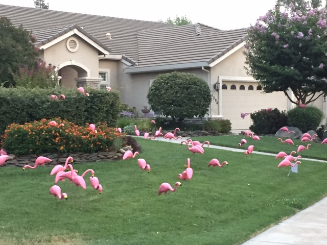 """A north Merced home gets """"flocked"""" with flamingos for charity. Photo by Steve Newvine"""