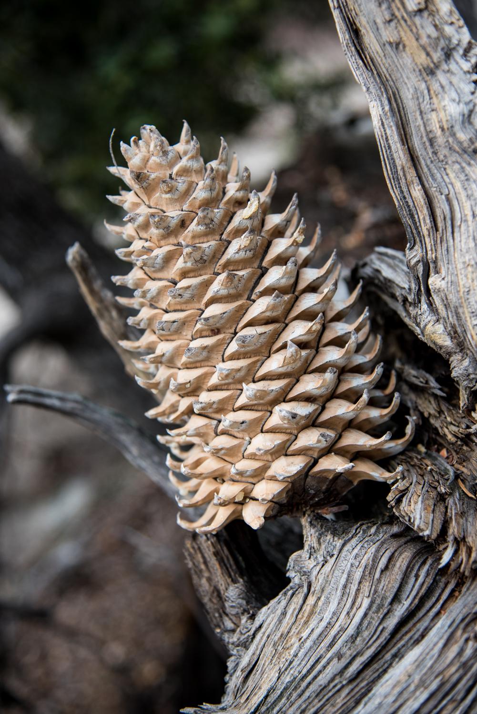 Massive pine cones come from massive trees!