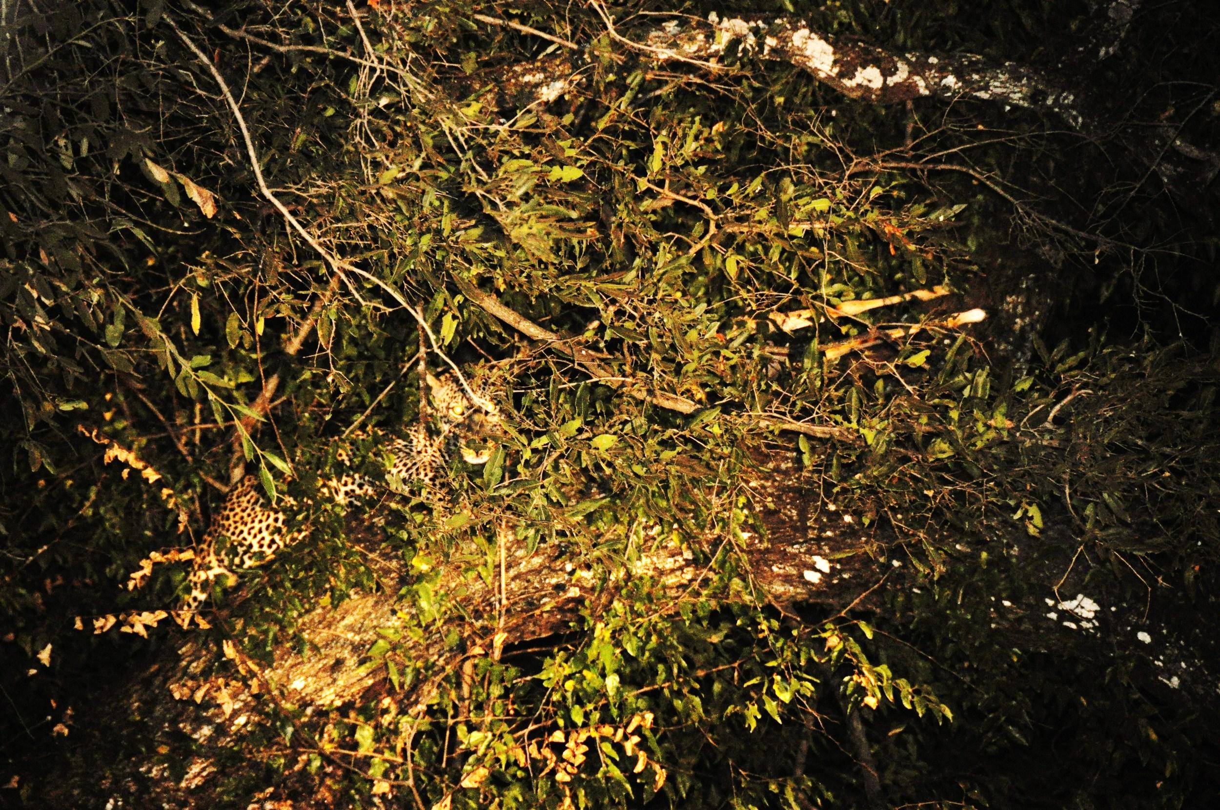 """Leopard """"spotted"""" on safari in Zambia"""