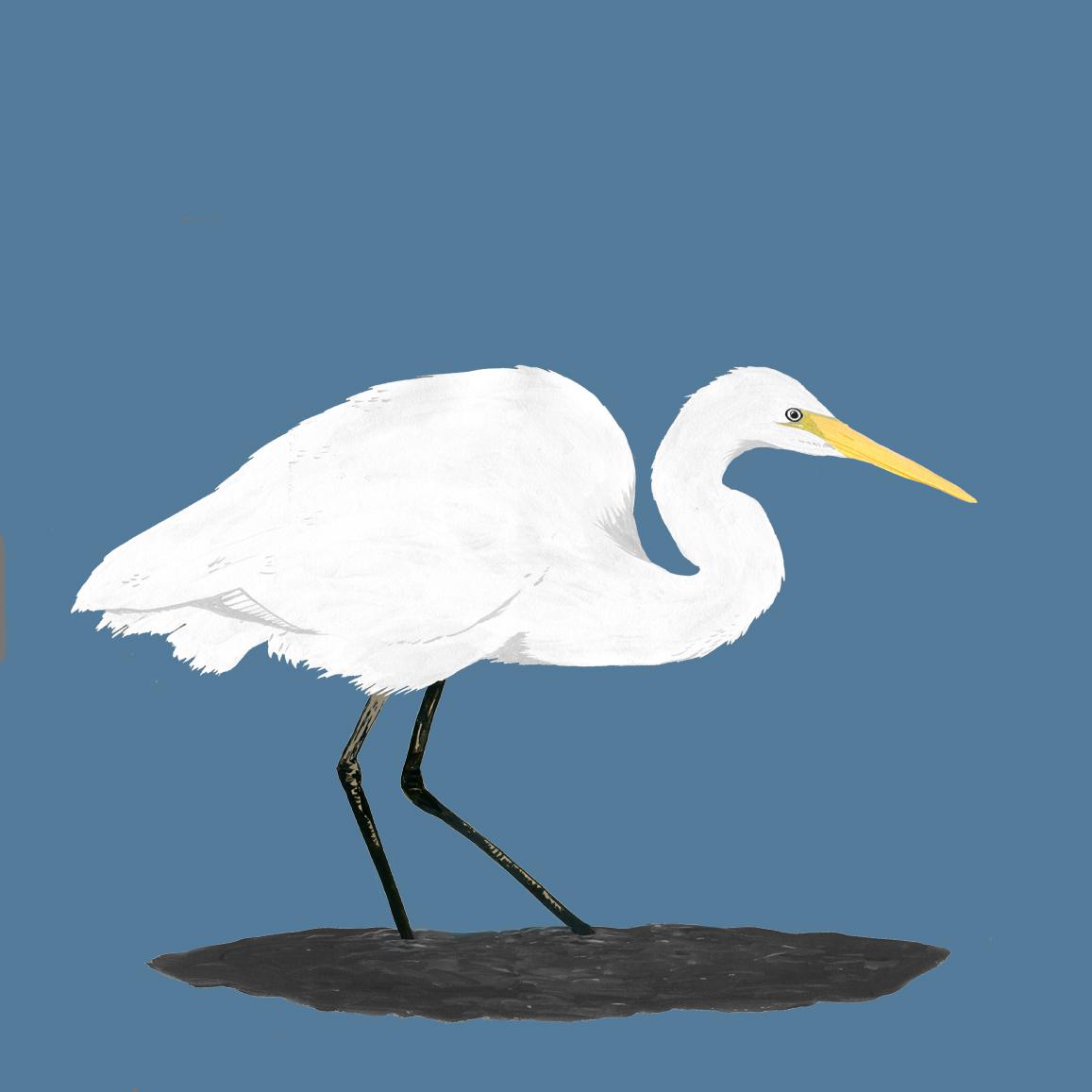 Kotuku - White Heron.