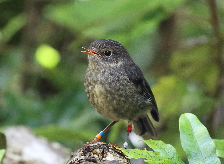 Juvenile North Island Robin.